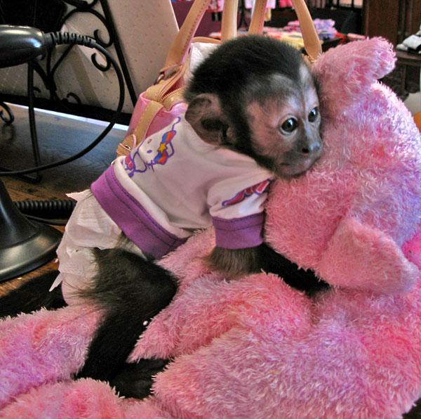 our lovely baby capuchin monkey naplesplus naples news